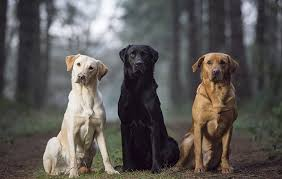 Labrador Color Chart Best Labrador Colour Does Coat Make A Difference The Field