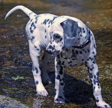 golden retriever dalmatian mix. Simple Dalmatian Oliver A Dalmatian Puppy On Golden Retriever Mix E