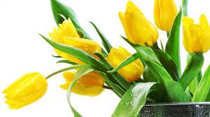 Flower - Tulip