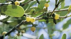 12 Things to Know about Mistletoe • The National Wildlife ...