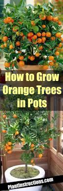 grow orange trees in pots