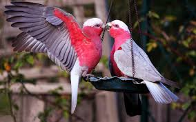 fantastic love birds wallpaper