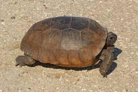 Gopher Tortoise Wikipedia