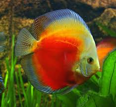 Discus | Discus fish, Fresh water fish tank, Tropical freshwater fish
