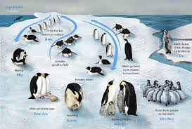 baby emperor penguins swimming. Brilliant Baby The Lifecycle Of The Emperor Penguin To Baby Emperor Penguins Swimming E