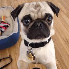 pug gif. Beautiful Gif Serious Pug GIF Inside Gif