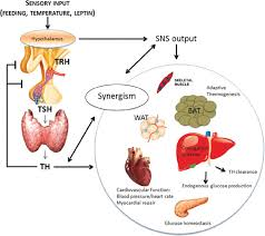 Thyroid Hormones And Their Thermogenic Properties Thyroid