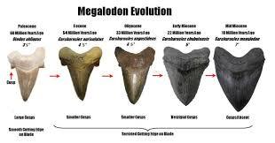 Shark Tooth Size Chart Shark Teeth Fossil Id The Fossil Forum