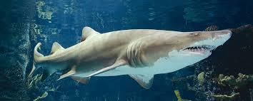 newport aquarium to offer special programming during endangered sand tiger sharks are listed as endangered