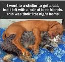 Image of vizsla with cats