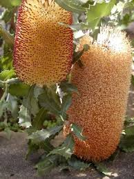 Small Picture 24 best Adelaide Native Plants images on Pinterest Native plants