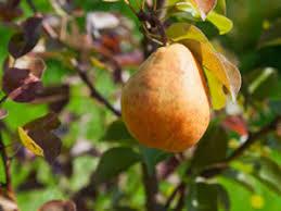 parasitärer pilz an obstbäumen