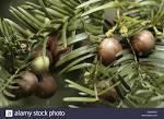 plum-fruited yew