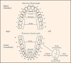 How To Count Teeth Chart What Are 14 Dental Points