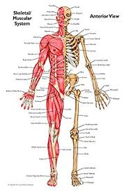 Anatomical Chart Set Of Muscular Skeletal Anterior And Posterior Views 2 Matte Finish Charts Of Heavy Duty Paper
