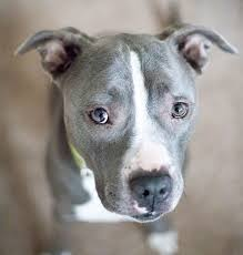 Light Grey Pitbull Blue Nose Pitbull Facts Fun Pros And Cons Of A Blue Nosed Pup