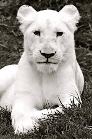 white lioness. Interesting White New Name And White Lioness I