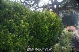 Bright 'N Tight™ Carolina Laurel   Privacy plants, Evergreen ...