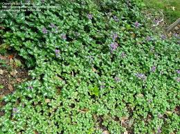 white ground cover plant plant identification closed small ground cover plant pink flowers 3 by green