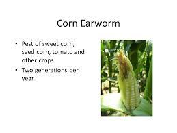 Corn Earworm Control Advances In Management Of Corn Earworm In Sweet Corn Rick