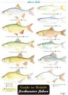 Freshwater Fish Identification Chart Guide To British Freshwater Fishes Identification Chart By