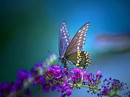 desktop wallpaper butterfly.  Desktop Free Butterfly Desktop Wallpapers Backgrounds Butterfly  With Wallpaper Cave