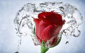 Time Lapse Water Drops Rose wallpapers ...