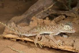 carpet viper. oman carpet viper, echis omanensis top: female from garden site, wadi al helo, sharjah, uae btm: male cliff viper