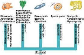 Kingdom Protista Biology4isc