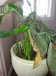 Light For Peace Lily Help My Peace Lily Is Suffering