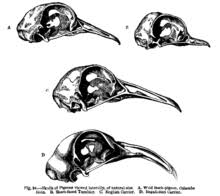 on the origin of species darwin researched how the skulls of different pigeon breeds varied as shown in his variation of plants and animals under domestication of 1868