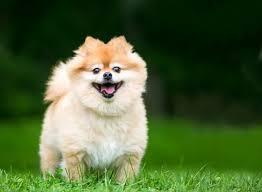 Pomeranian Puppy Feeding Chart 8 Best Pomeranian Dog Foods For Adult And Puppy Pomeranians