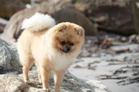 Gratis Afbeeldingen Puppy Huisdier Pluizig Fauna Gewerveld