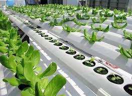 150402 lettuce1 hydroponic