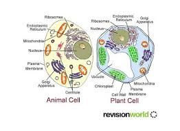 animal cell vacuole diagram. Perfect Diagram Plant Cells Vs Animal Throughout Cell Vacuole Diagram I