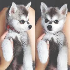 baby husky puppies tumblr. Wonderful Husky Puppy Husky Intended Baby Puppies Tumblr LoveThisPic