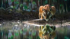 Tiger Wallpaper - Wallpaper Hook
