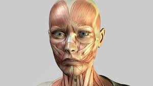 face anatomy lilith virtual patient face muscles youtube