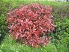 Photinia arbuste