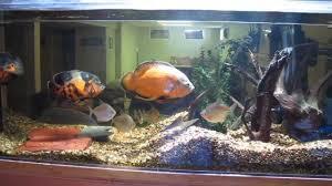 Turtle Tank Decor Update 250 Gallon Oscar Aquarium Youtube