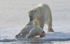 polar bears cannibal pictures prove they ll even eat bear cubs  cannibalism is not unknown in polar bears but scientists have recently observed that the behaviour
