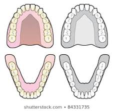 Jaw Chart 1000 Lower Teeth Stock Images Photos Vectors Shutterstock