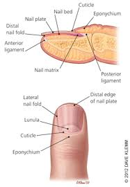 Evaluation Of Nail Abnormalities American Family Physician