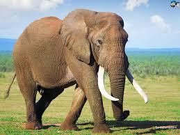 essay elephant essay of elephant essay on the elephant elephant essay on the elephant for school students