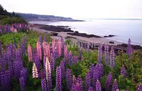 Image result for lupines in maine