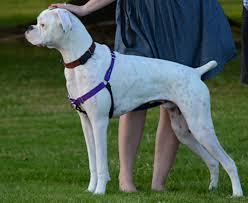 Image result for dog boxer owner