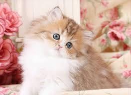 teacup persian cat. Brilliant Persian Teacup Persian Kitten Inside Cat A