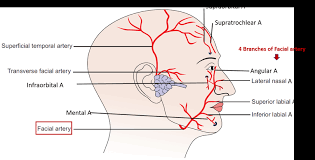 arteries of the face face arterial supply anatomy qa