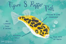 figure 8 puffer fish species profile
