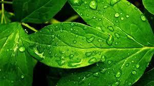 Green Leaves Hd Wallpaper Free ...